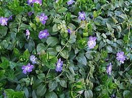 :Plant Images:Vinca vine.jpg
