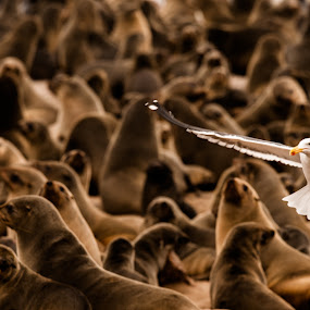 Seals & Cape Gull, Namibia by Ken Dyball - Animals Other ( seals cape gull contrast cape cross namibia )