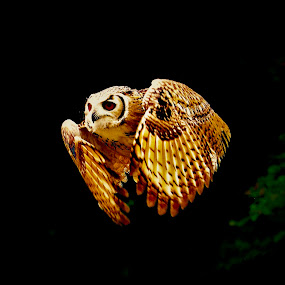 Owl by Richard Lawes - Novices Only Wildlife