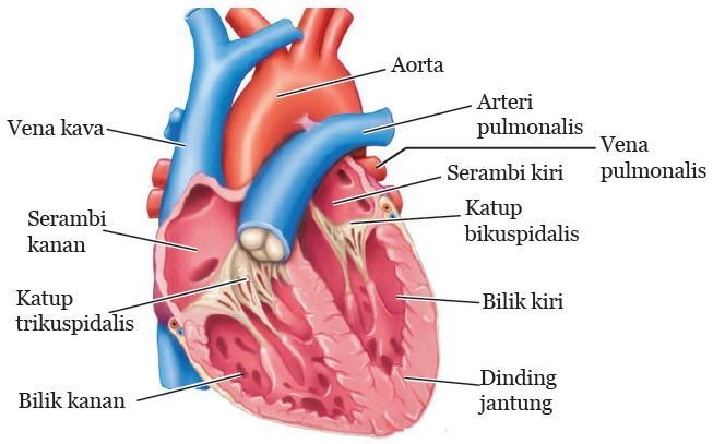 struktur dan bagian jantung
