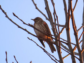 Photo: 19 Jan 14 Priorslee Lake A Redshoulder? no: just a trick of the light shining through twigs on to this Redwing. (Ed Wilson)