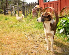 Photo: Paca, la petite chienne qui nous a suivi pendant 32 km, depuis Villa O'Higgins. Nous l'avions baptisé Paco avant de nous apercevoir que c'était une femelle.