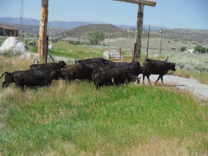 Photo: Day 19 Dubois to Riverton WY 79 miles 1410' climbing: Cattle do not want to cooperate