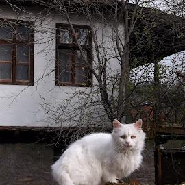Бяло by Georgi Kolev - Animals - Cats Portraits ( къща., котка., бял., ден., дървета. )
