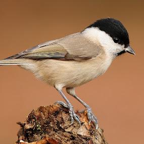 Marsh Tit by Adem Yağız - Animals Birds