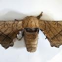 Chocolate-Tip Silk Moth