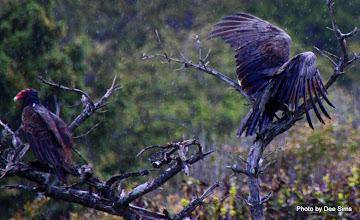 Photo: (Year 2) Day 356 - Turkey Vulture Landing in the Rain #2