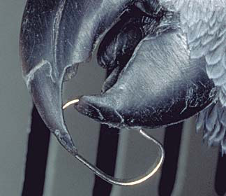 A dangerous toy's clip has gotten stuck on this African grey's beak