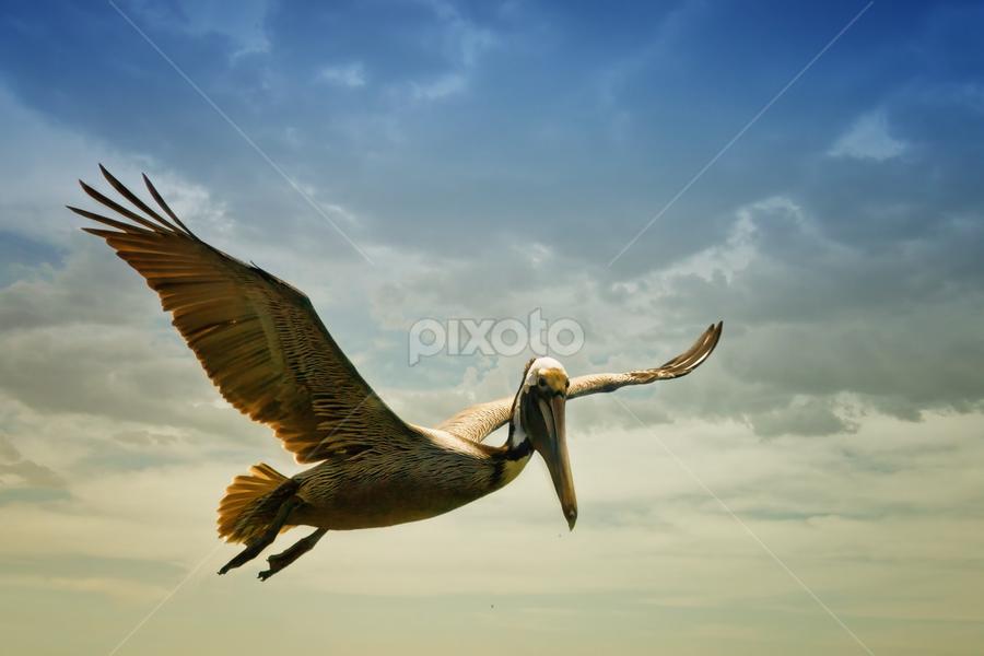 Pelican by Zsuzsanna Szugyi - Artistic Objects Other Objects ( bird, art, sea, pelican )