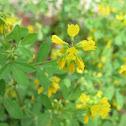Yellow-flowering Herb