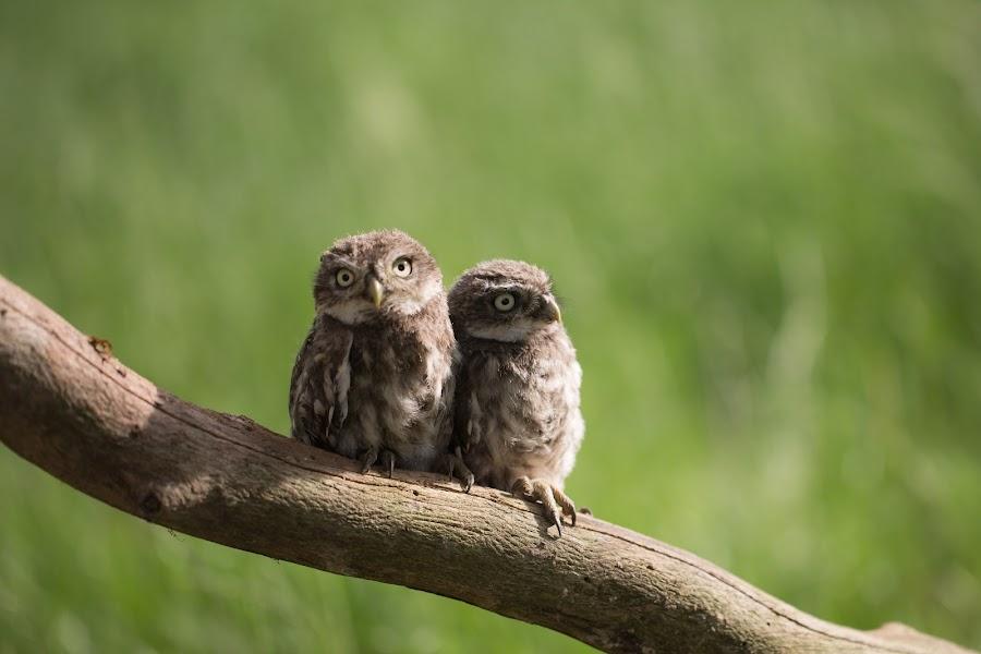 Evening Sun by Jürgen Sprengart - Animals Birds ( owl, light., sun, babys )