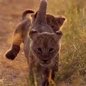 Cute lion cubs icon