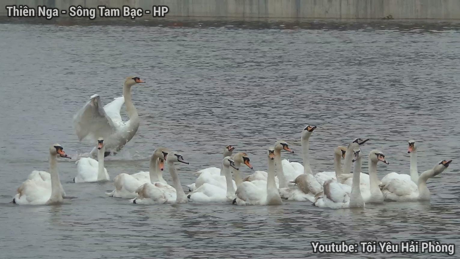 Cận cảnh chim Thiên Nga ở sông Tam Bạc Hải Phòng 4