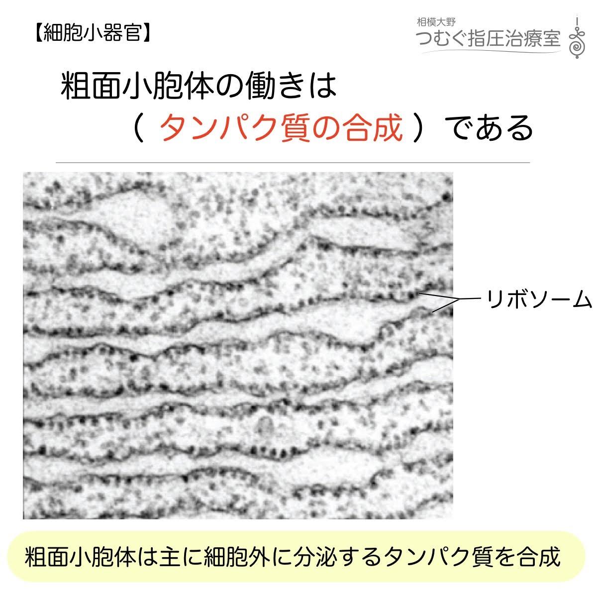 粗面小胞体の働きはタンパク質の合成である