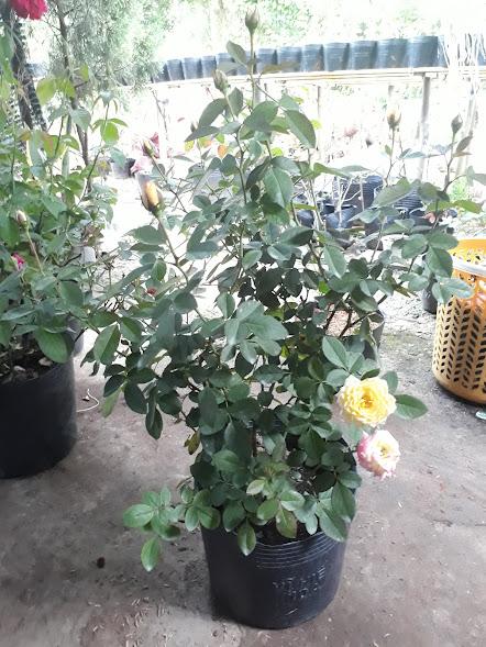 Một chậu hoa hồng 3 màu Sa Đéc đang chuẩn bị nở hoa. Ảnh chụp ngày 22/08/2017