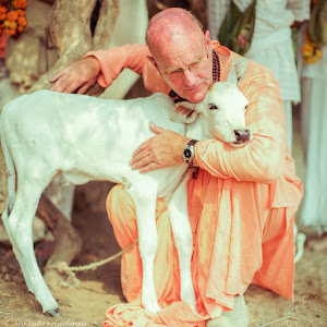 Indradyumna Swami with a Calf in Vrindavan