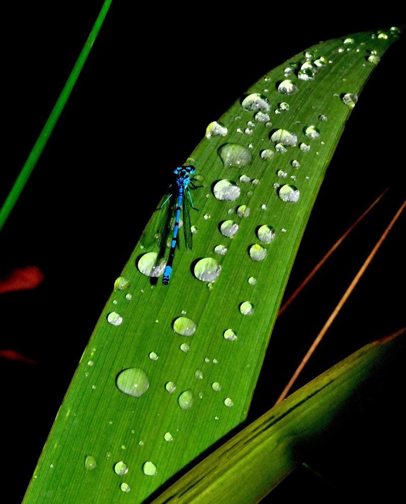 Libellula tra gocce di pioggia di benny48