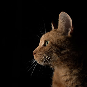 Cat by Twan Konings - Animals - Cats Portraits ( cat, low key, portrait )
