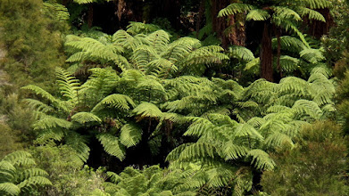 Photo: The Black Tree ferns are lush, beautiful, and grow to over 70' tall.  The forest is very new since the eruption happened less than 130 years ago.