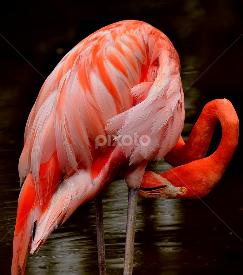 Flamingo  by Brandon Satinsky - Animals Birds ( bird, zoo, honolulu, flamingo, honolulu zoo, hawaii )