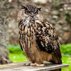 An American Eagle Owl in Scotland by Nathan Robertson - Animals Birds ( owl, bird of prey, eagle, american, portrait,  )