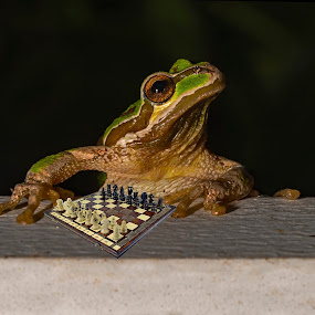 An Intellectual Amphibian by Sparty Rodgers - Animals Amphibians ( nikon d800, frog, boistfort valley, amphibian, pacific tree frog )