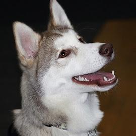 Nova by Chrissie Barrow - Animals - Dogs Portraits ( ears, fur, husky, puppy, portrait, dog, pet )