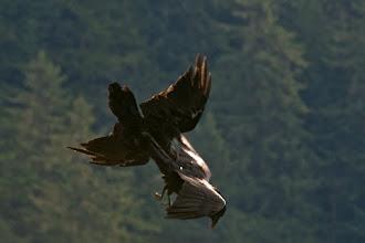 Photo: Ravens tussling midair, Juneau