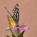 Common Jezebel butterfly