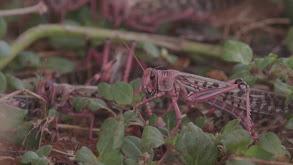 Locust Swarm thumbnail