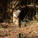 Catalina Island Gray Fox