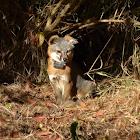 Catalina Island Gray Fox