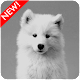 Samoyed Puppies Wallpaper for PC-Windows 7,8,10 and Mac