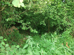Photo: This is  a lane between two hedges that has not been used for while.  It has become filled with undergrowth
