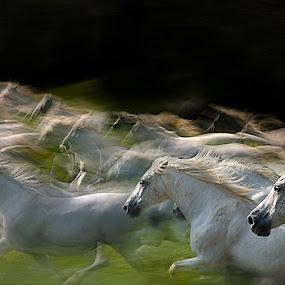 Herd by Milan Malovrh - Animals Horses ( lipicanci )