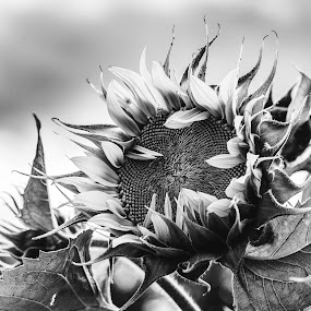 New Sunflower by Heather Campbell - Black & White Flowers & Plants ( monochrome, black and white, sunflower, bloom, flower,  )