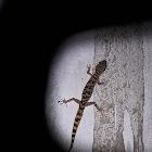 Lawder's bent-toed gecko