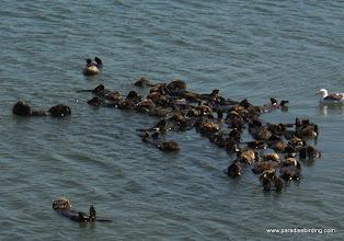 Photo: Raft of California sea otters, Moss Landing.