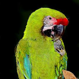 La chochotte by Gérard CHATENET - Animals Birds
