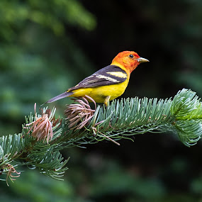 Western Tanager by Steve Kazemir - Animals Birds ( tanager, bc, canada, bird, manning park, british columbia, western )