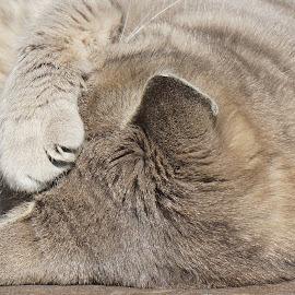 Nap by Sámuel Zalányi - Animals - Cats Portraits ( gray, sunshine, cat, relaxing, nap,  )