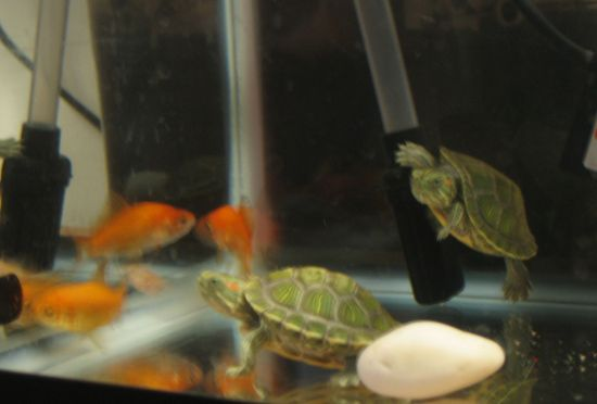 blurry pic of the fish with the turtles. The aquarium is doing the ...