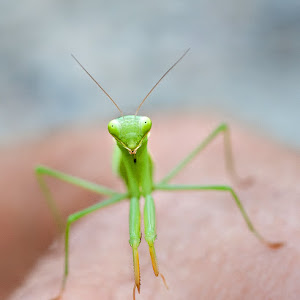Preying Mantis 18.jpg
