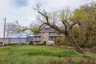 Photo: Leaning, stretching tree in a field in Ōizumi, Ōra District, Gunma Prefecture. Read more about Oizumi: http://japanvisitor.blogspot.jp/2015/04/oizumibrazil-in-japan.html