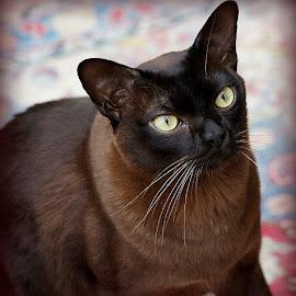 Brown Burmese Cat by Caroline Beaumont - Animals - Cats Portraits ( brown burmese cat )