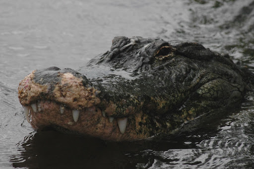 An alligator spotted near the Launch Pad 39 area at NASA's Kennedy Space Center raises its head above the water.