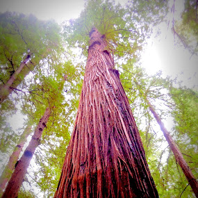 Majestic by Becky Luschei - Nature Up Close Trees & Bushes ( tree, look up, majestic, word, mind, redwood, giant )