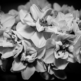 Daffodils in the dark by Carol Henson - Black & White Flowers & Plants ( fleur, monochrome, black and white, daffodil, flora, monotone, mono, floral, flower )