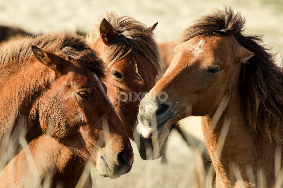 Horse Conference by Kim Wilhite - Animals Horses ( outer banks, wild horses,  )