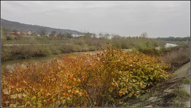 Photo: Iulişca (Fallopia japonica) sau Polygonum Cuspidatum, Polygonum polystachyum - planta invaziva - de pe Str. Stefan cel Mare zona dig - 2017.11.02